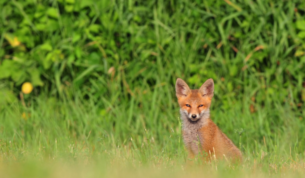 Red fox sitting on the grass looking at the camera