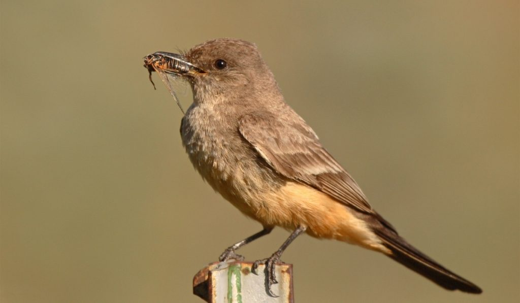 Say's Phoebe with a cicada in its beak