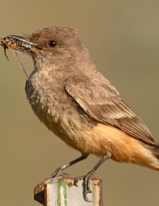 Says-Phoebe-with-a-cicada-in-its-beak
