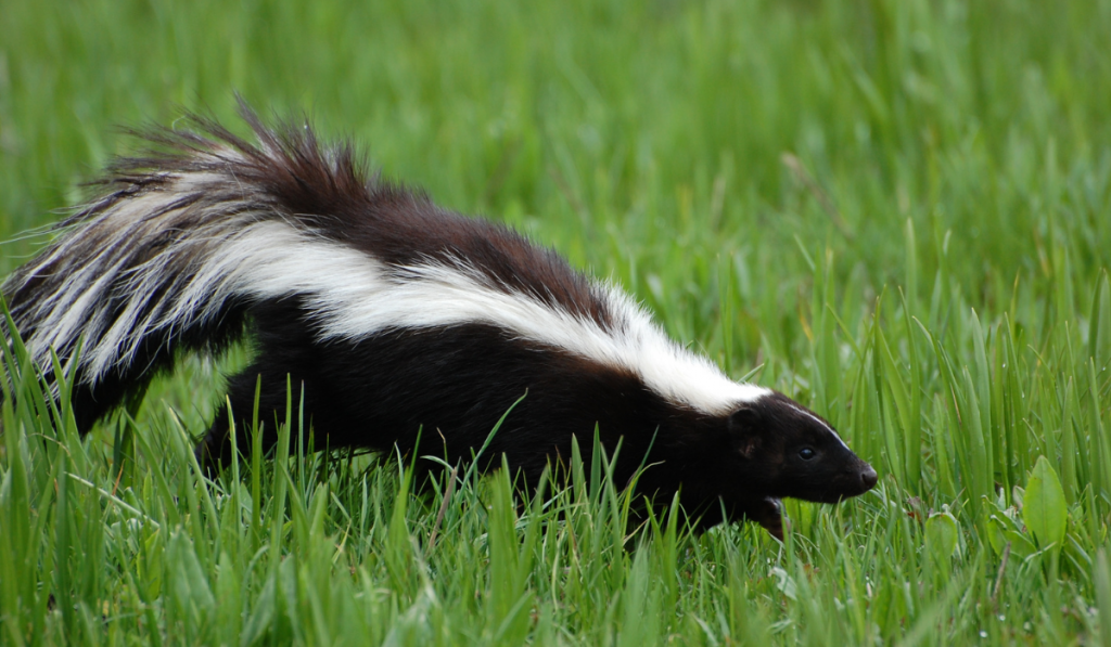 Skunk walking on the grass