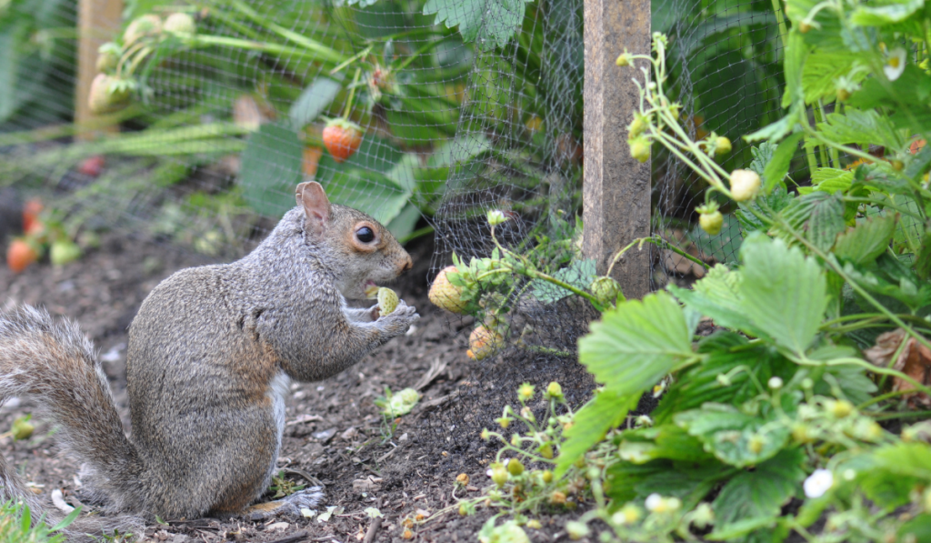Squirrel eating strawberry