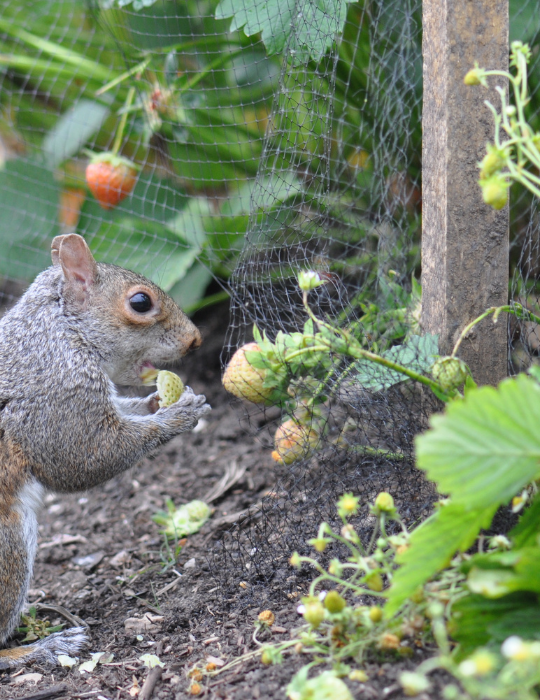 Squirrel-and-Strawberry