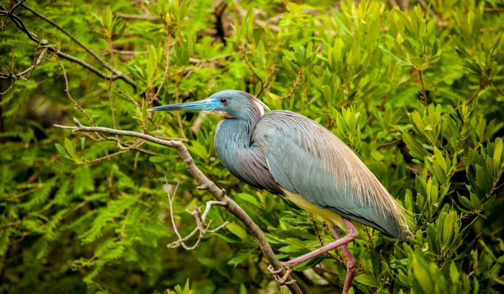 Tricolored Heron sits on a branch of the tree