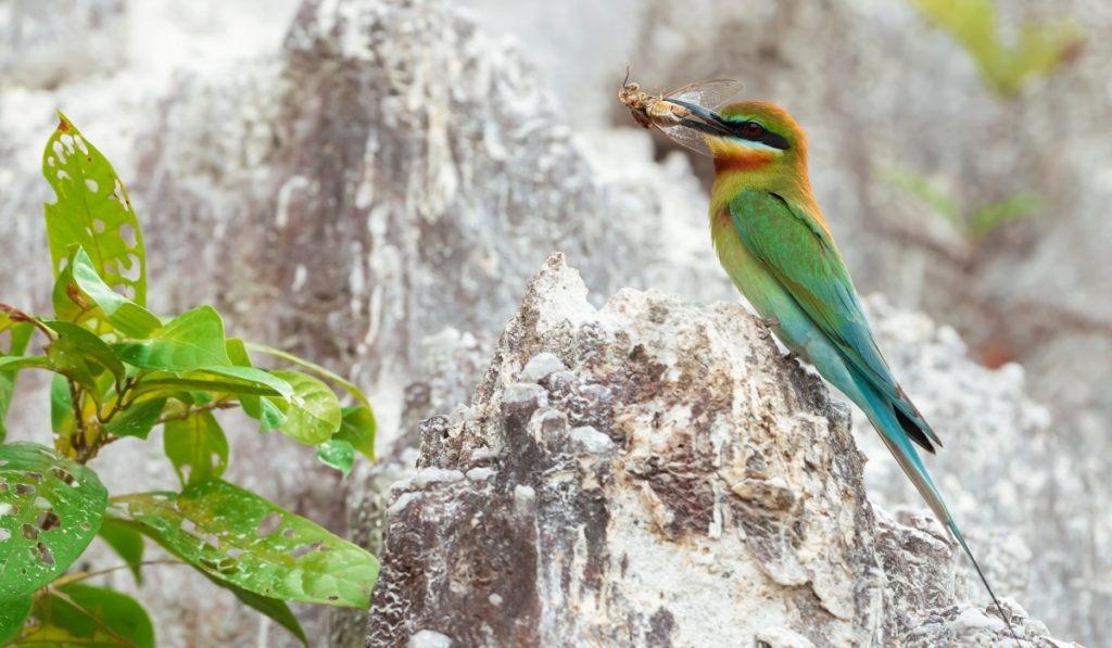 bee-eater perching on a limestone with a cicada on its beak