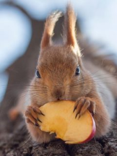 squirrel-eating-apple-on-the-tree-
