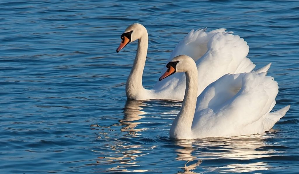 two-white-swans-on-the-lake