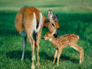 Deer-and-Fawn