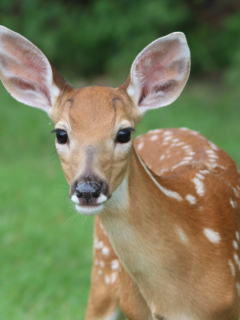 Deer-in-the-forest