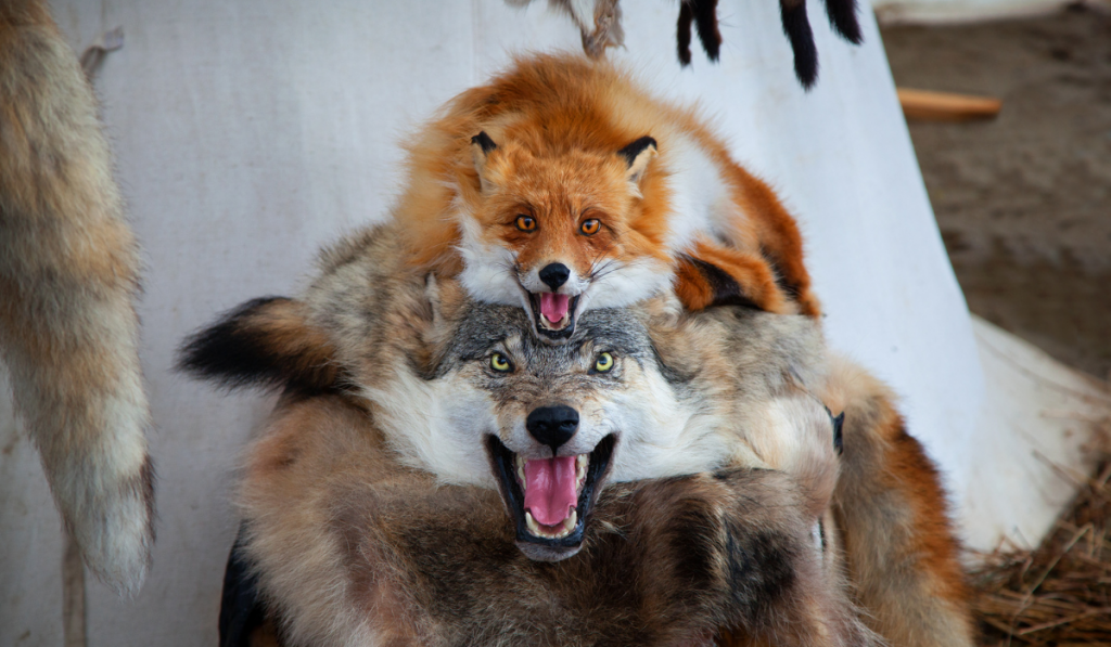Skin of dead fox and wolf