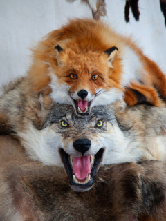 Fox-and-wolf