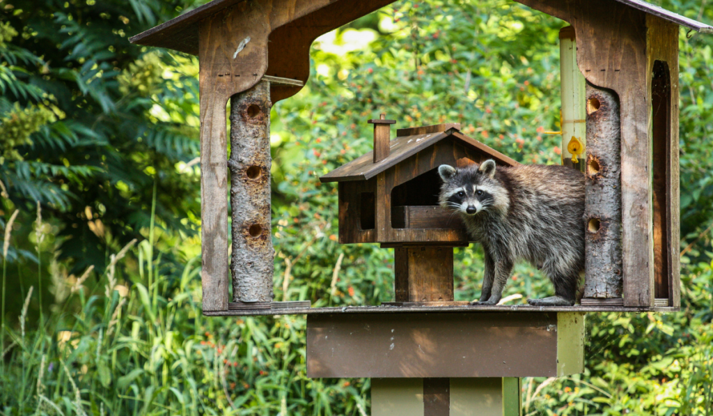Raccoon on a bird feeder in the forest