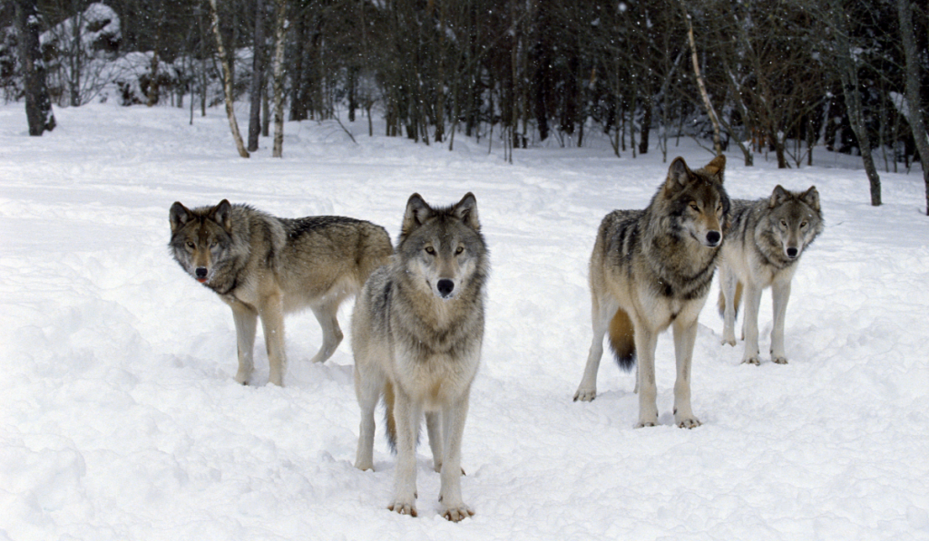 Pack of wolves in the snowy forest