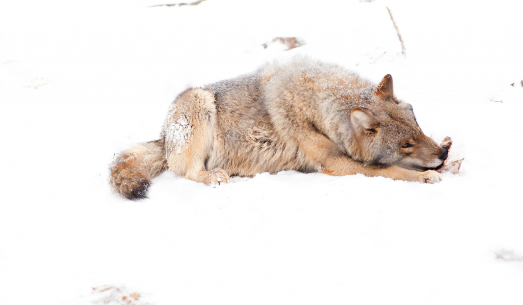 Wolf-in-the-snow