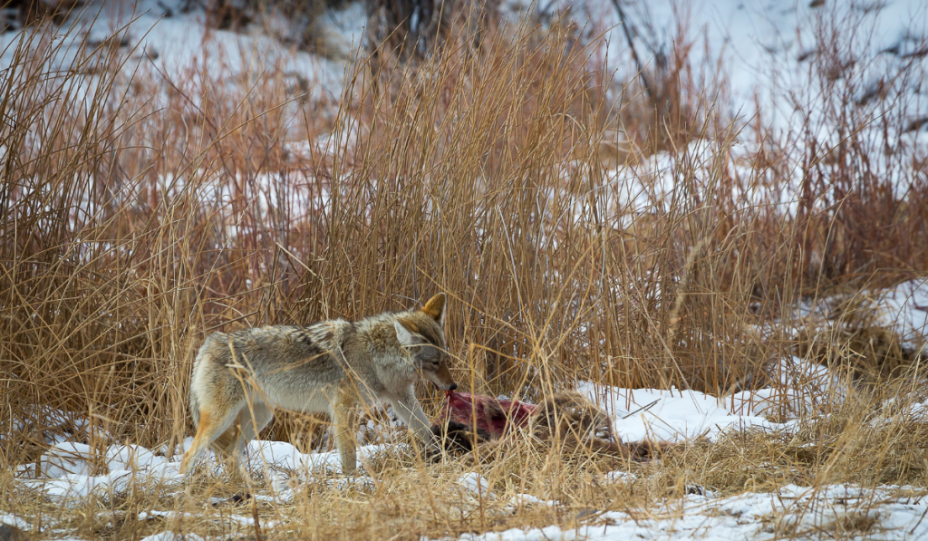 coyote-eating