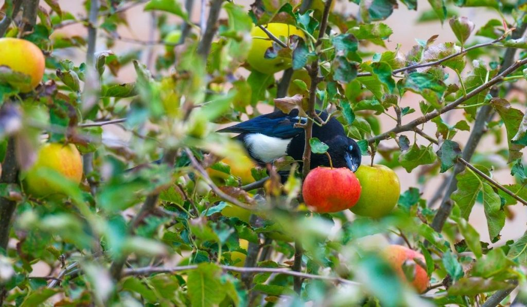 magpie eating an apple from the apple tree