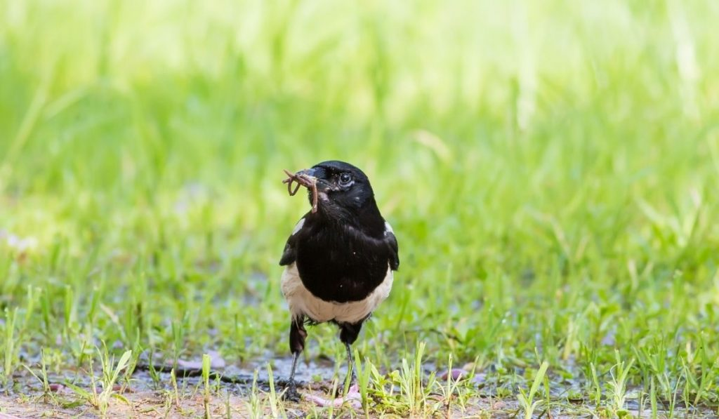 magpie eating an earthworm