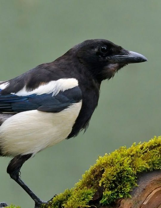 magpie-perched-on-a-branch-of-tree