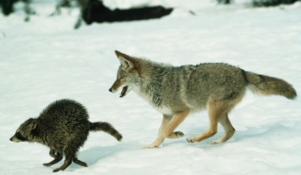 racoon-and-coyote