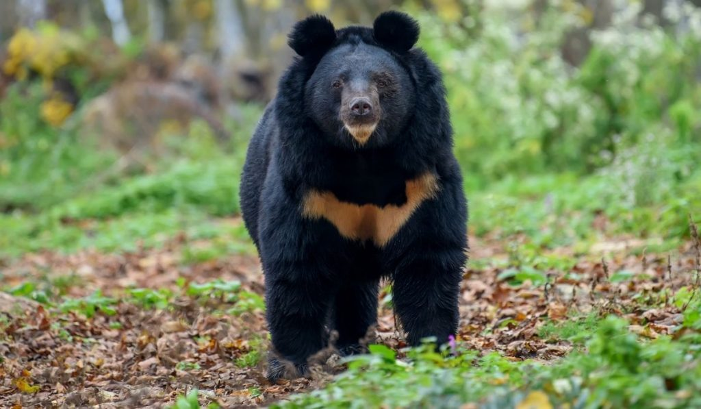 Asiatic Black Bear (Ursus thibetanus) in the forest looking straight at the camera
