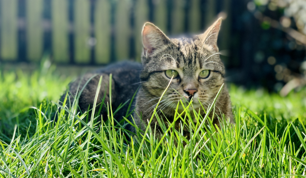 A cat in attack position on the green grass.
