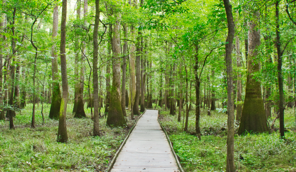 A boardwalk in the forest at Congaree National Park.