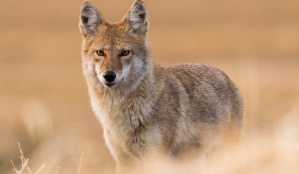 A coyote standing on the field.