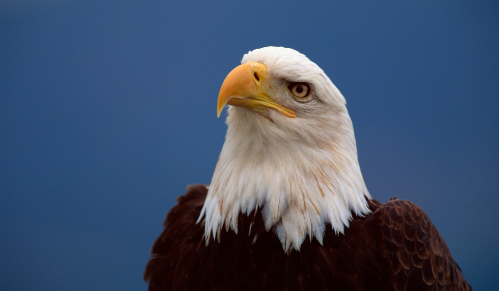An eagle looking somewhere far in a blue background.