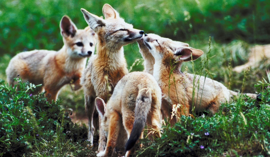 Pack of foxes playing in the jungle.