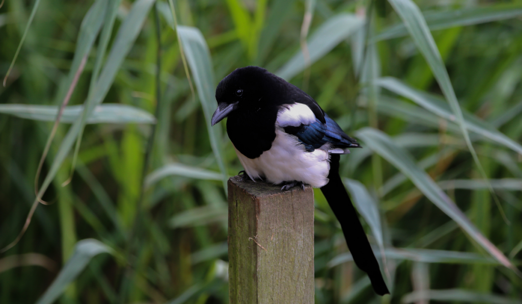 Magpie sitting on a wood with tall green grass in the background.