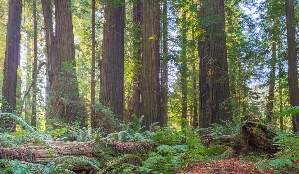 Tall tress and green ferns growing healthy at the forest of California.