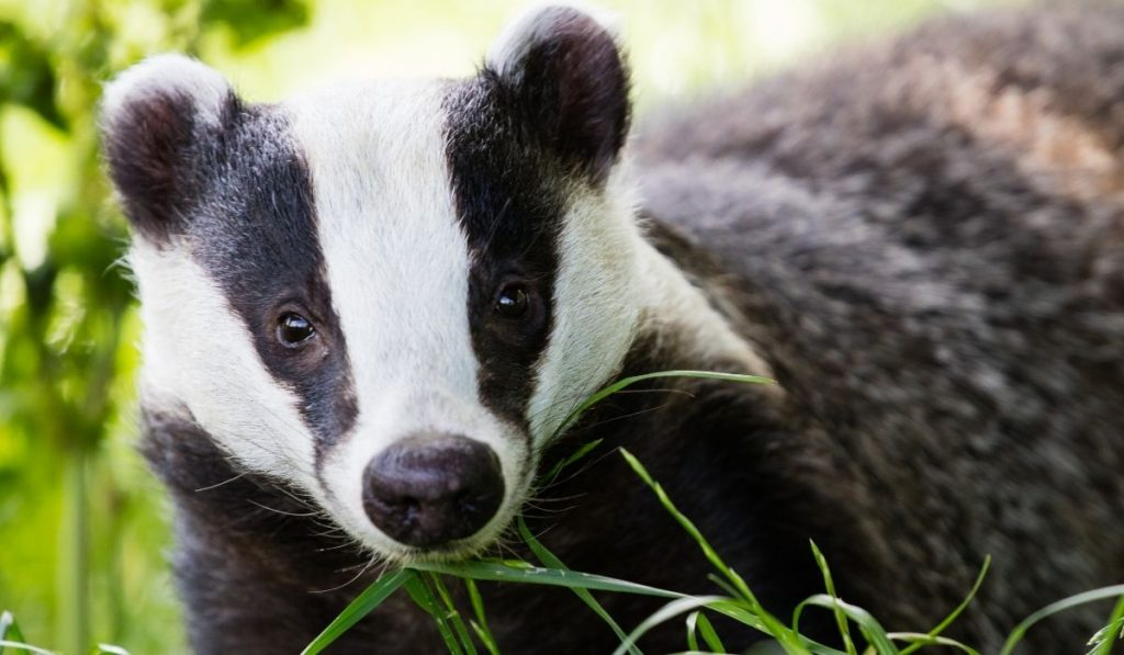 close up picture of a badger