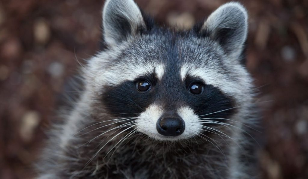 close up picture of raccoon