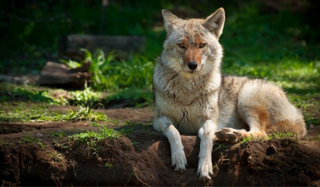 coyote lies in a dirt patch in the forest