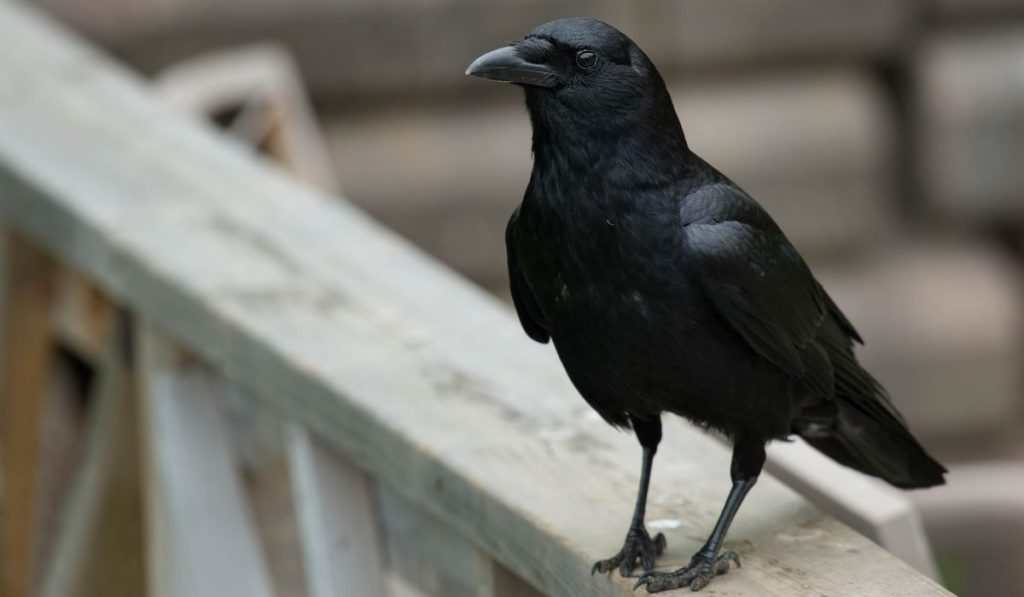 crow standing on a porch