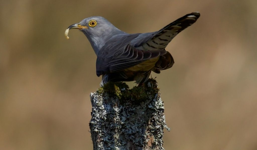 cuckoo standing on a moss covered post with a worm on in his beak
