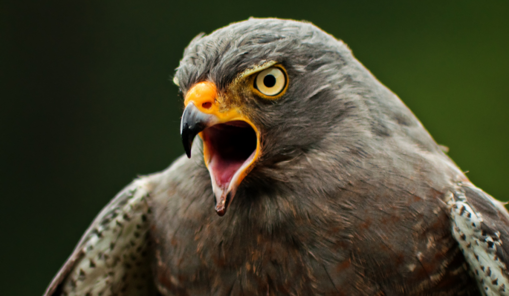 Hawk with yellow beak opening its mouth and fierce eyes.