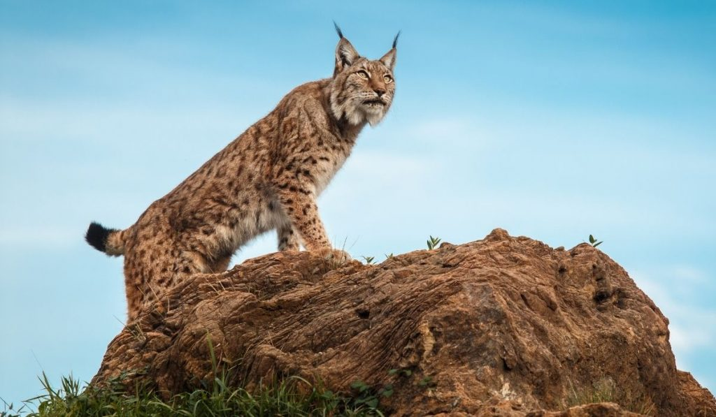 lynx standing on a rock