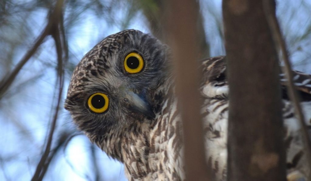 owl peaking behind the tree branches
