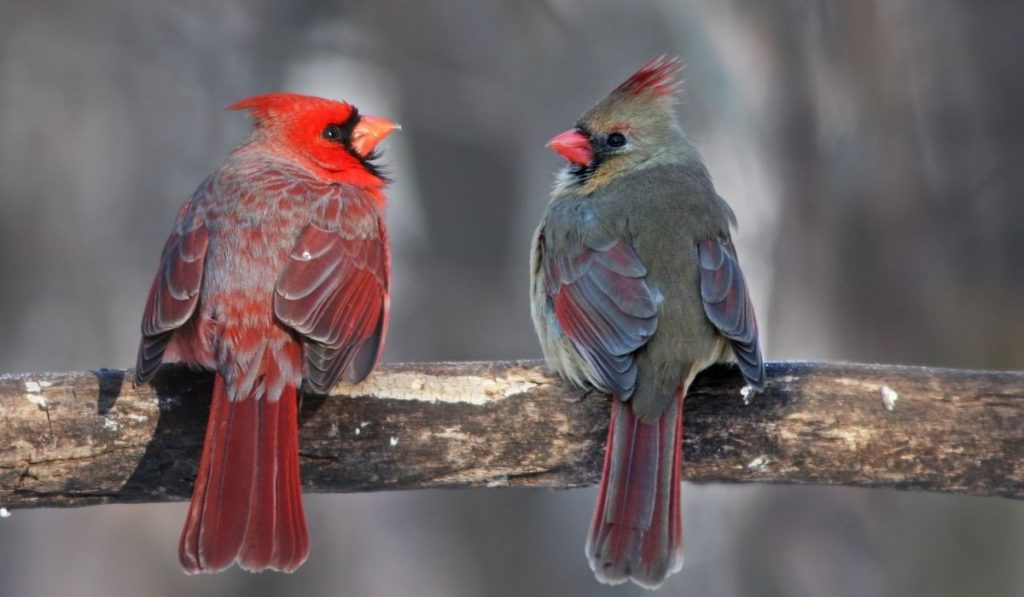pair of cardinal on a branch in winter