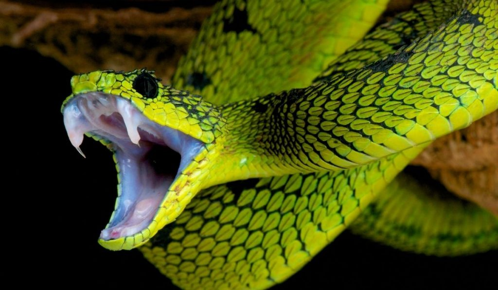 snake with mouth open ready to attack