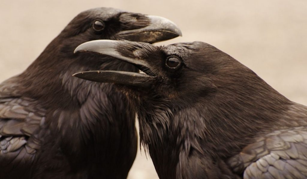 two crows close together