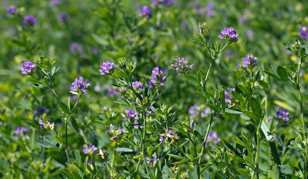 A plant with violet flowers in the field
