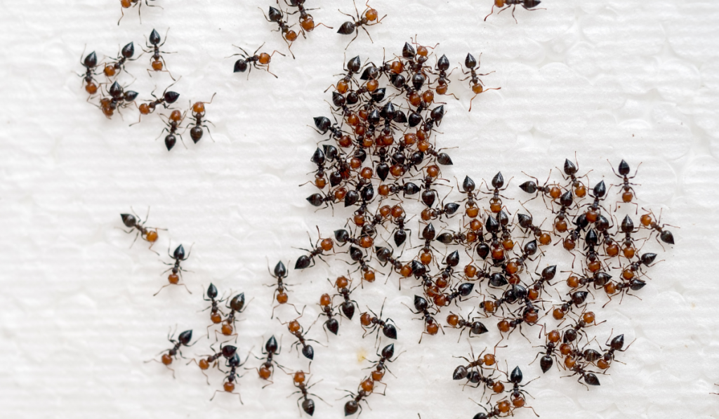 Ants group together on a white tissue