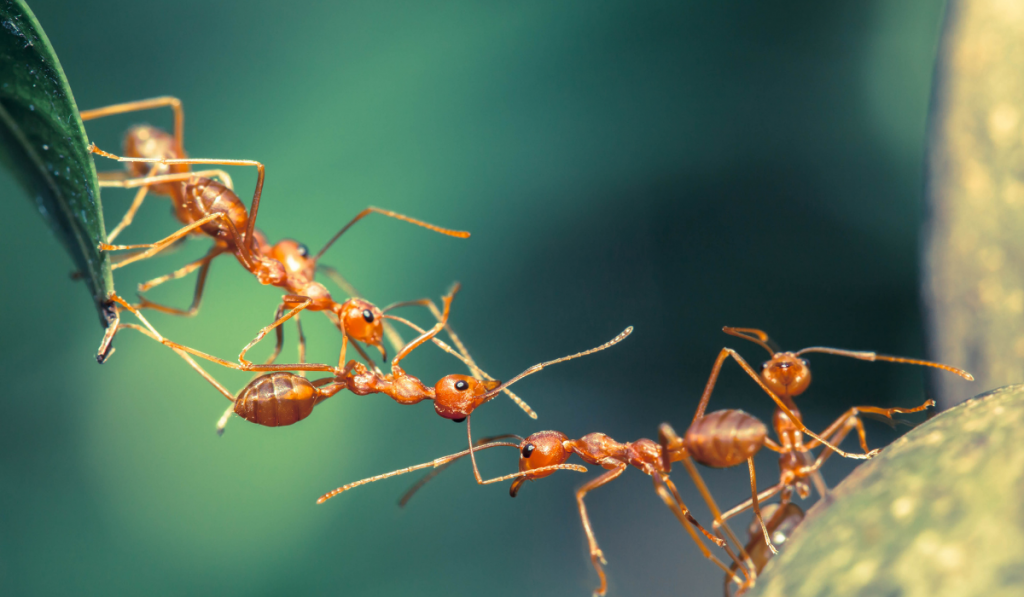 Ant building a bridge from leaf to another leaf