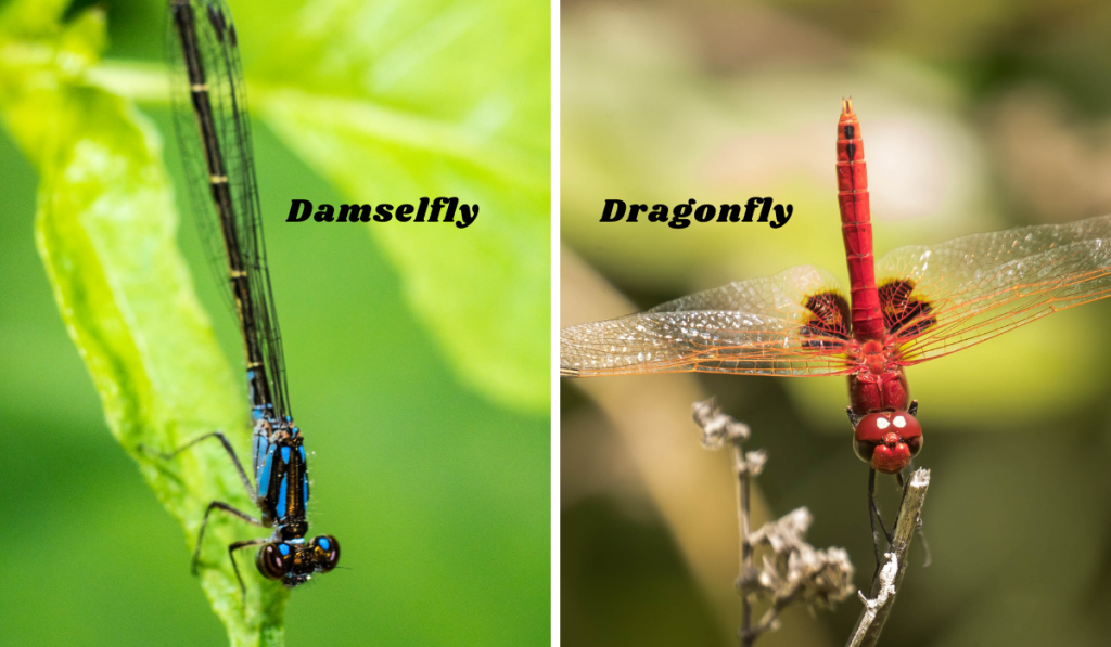 A side-by-side picture on the dragonfly and the damselfly.