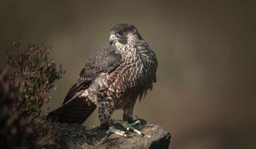 A quality picture of falcon standing on the rock.