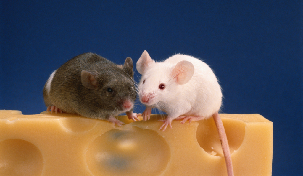 Black and whit mice on top of the cheese with blue background.