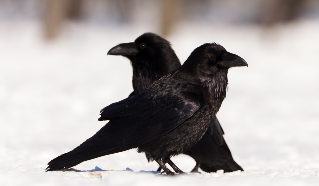 Two ravens standing in the snowy field