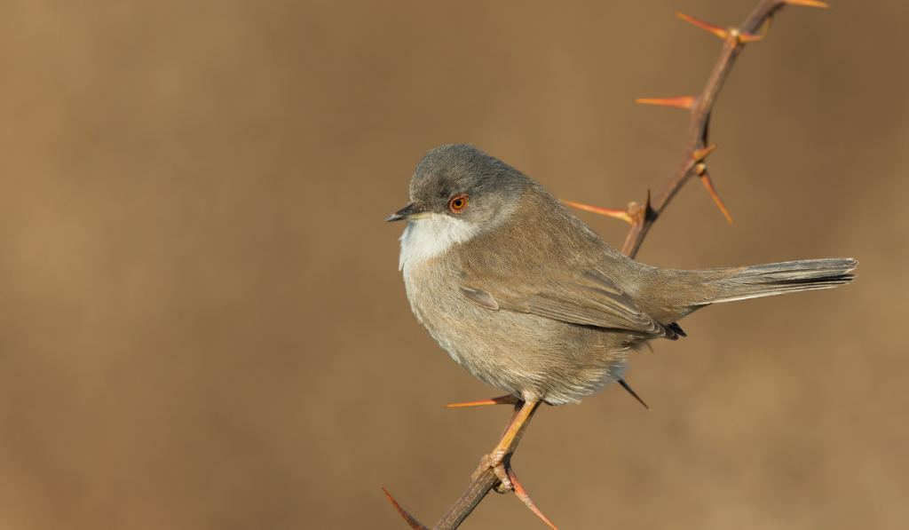 A brown bird standing on the thorny stem.