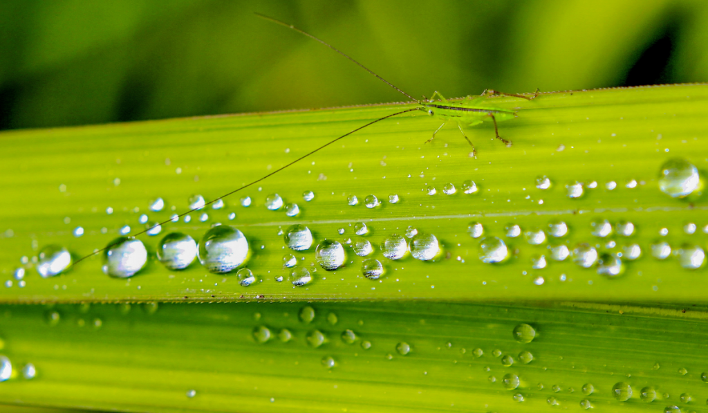 A grasshopper on the grass leaf with water droplets